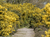 Yellow Gorse Path to nowhere