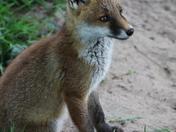 Fox cub sitting on the path