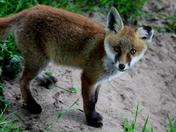 Fox cub standing on the path