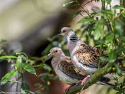 Lovely Turtle Doves