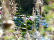 Lilies Peeping Through
