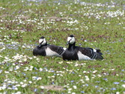 Geese Taking A Nap Among The Daisies