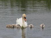 Swan feeding cygnets