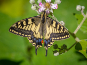 Swallowtails of Strumpshaw