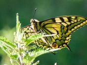 Strumpshaw Swallowtail Butterflies