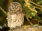 Little Owls,