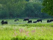 Cattle Enjoying The Pasture