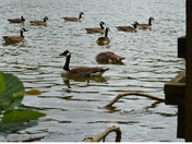 CANADIAN GEESE AT HATFIELD FOREST