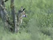 Fox Cubs.