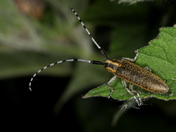 Golden-Bloomed Grey Longhorn Beetle 4