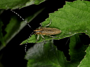 Golden-Bloomed Grey Longhorn Beetle 5