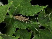 Golden-Bloomed Grey Longhorn Beetle 6