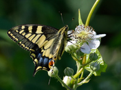 Swallowtail Butterfly at Hickling.
