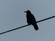 SILHOUETTE.Crow On The Wire