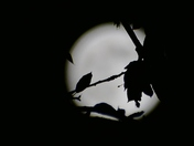 SILHOUETTE. Foliage In Front Of Moon