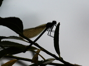 Silhouette of Damselfly