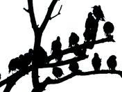 Starlings in silhouette.