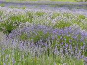 Variety Of Lavenders