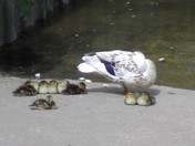 A family of Ducks in the sunshine at Beccles Quay