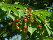 Cherries will soon be ripe