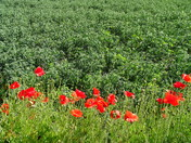 Poppies and Peas