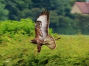 Buzzard Hunting near the A507
