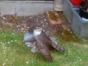 COLLARED DOVE SAVED IN BACK GARDEN ATTACK