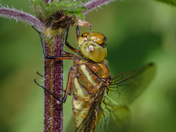 Norfolk Hawker, female