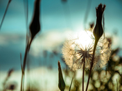 The Dandelion and Sun