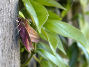Elephant hawk-moth in a Harleston garden
