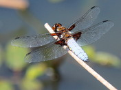 The Male Broad Bodied Chaser