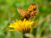 Small Pearl Bordered Fritillary in Cumbria.