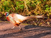 cock pheasant rspb titchwell
