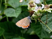 Black Hairstreak at Glapthorn.