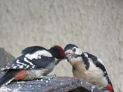 Great spotted woodpecker & junior