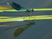 The Banded Demoiselle