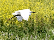 "Low Flying "" Little Egret ""."