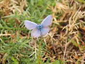 The Silver Studded Blue Butterfly