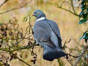 woodpigeon rspb titchwell