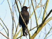blackbird rspb titchwell