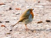 robin rspb titchwell