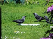 AN AFTERNOON TEA FOR JACKDAWS