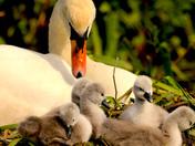 Swan on the Waveney.
