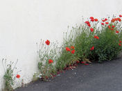 Self-seeded poppies on an Exmouth driveway
