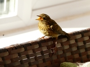 Baby robin comes in for breakfast(literally)