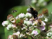 Summer Time - bee on a bramble