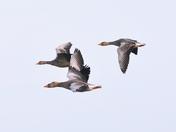 greylag geese cley marsh