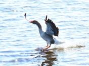 greylag goose landing cley marsh