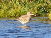 curlew cley marsh