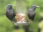 Summer showers don't stop birds snacking.